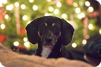 Dachshund/Chihuahua Mix Puppy for adoption in Higley, Arizona - DIONE (Dee Dee)