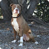 Adopt A Pet :: Bodee - Santa Barbara, CA
