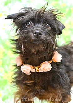 Terrier (Unknown Type, Small) Mix Dog for adoption in Dublin, California - Daphne