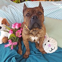 Staffordshire Bull Terrier Mix Dog for adoption in Toluca Lake, California - Booker