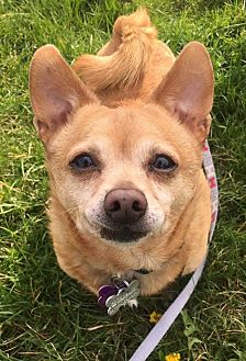 Chihuahua Mix Dog for adoption in Youngstown, Ohio - Duke