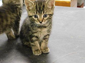 Domestic Shorthair Kitten for adoption in Sparta, Wisconsin - Kittens