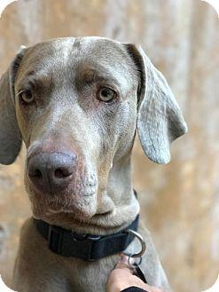 Weimaraner Dog for adoption in Sun Valley, California - Brandy