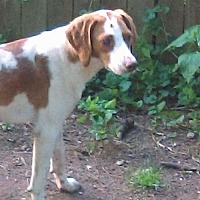 Beagle Mix Dog for adoption in Staten Island, New York - Petunia Sweet Beagle