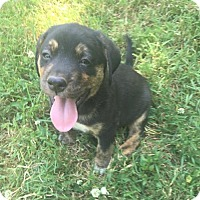 Shepherd (Unknown Type)/Labrador Retriever Mix Puppy for adoption in Hillsboro, Missouri - Lightning McQueen