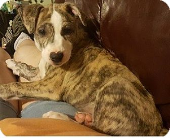 Australian Shepherd/Boxer Mix Puppy for adoption in St. Charles, Illinois - Miss Pickles