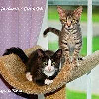 Domestic Shorthair Kitten for adoption in Marlboro, New Jersey - Zeke