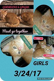 American Shorthair Kitten for adoption in Malvern, Arkansas - KITTENS!!! KITTENS!!!