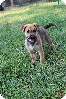Terrier (Unknown Type, Medium) Mix Puppy for adoption in Winchester, Virginia - Muffin