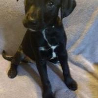 Adopt A Pet :: Chief - Walpole, MA