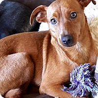 Adopt A Pet :: Cappochina - San Diego, CA