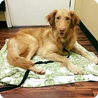 Adopt A Pet :: BANDIT - Murrells Inlet, SC
