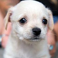 Adopt A Pet :: Hank APPLICATIONS CLOSED - New York, NY