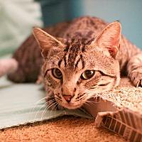 Adopt A Pet :: Barnaby - Arlington/Ft Worth, TX