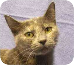Domestic Shorthair Cat for adoption in Walker, Michigan - Salty