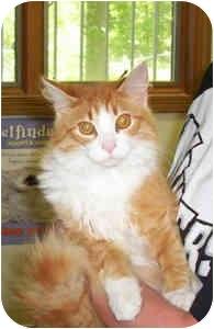 Domestic Longhair Cat for adoption in Murphysboro, Illinois - Scrabble