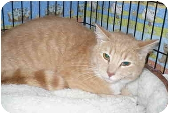 Domestic Shorthair Cat for adoption in Colmar, Pennsylvania - McCawley