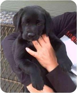 Labrador Retriever Puppy for adoption in Salem, Oregon - Levi