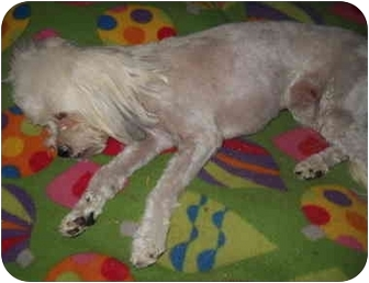 Maltese/Poodle (Toy or Tea Cup) Mix Dog for adoption in Phoenix, Arizona - Sunny
