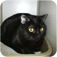 Domestic Shorthair Cat for adoption in Tampa, Florida - Sylvia