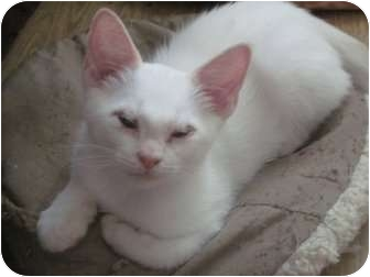 Siamese Kitten for adoption in The Colony, Texas - Mr. Grumpy