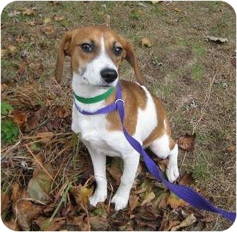 Beagle Mix Puppy for adoption in Worcester, Massachusetts - Jack