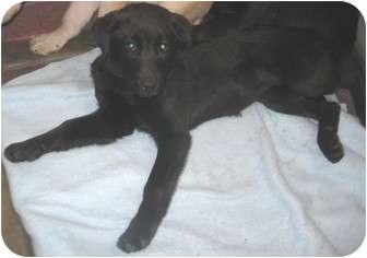 Labrador Retriever/Retriever (Unknown Type) Mix Puppy for adoption in Phoenix, Arizona - HANNAH
