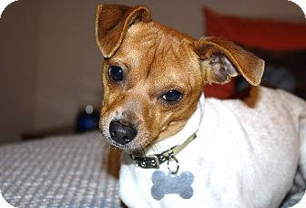 Jack Russell Terrier/Chihuahua Mix Puppy for adoption in Bellflower, California - Patrick