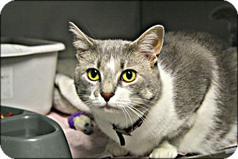 Domestic Shorthair Cat for adoption in Anderson, Indiana - Sally
