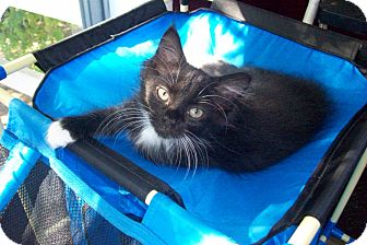 Domestic Longhair Kitten for adoption in New Richmond, Ohio - Cookie