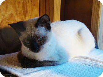 Siamese Kitten for adoption in Kalamazoo, Michigan - Willow