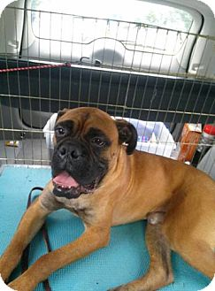 Boxer/Mastiff Mix Dog for adoption in Westminster, Maryland - Dante