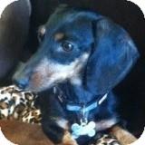 Dachshund Dog for adoption in Houston, Texas - Jake Jasper