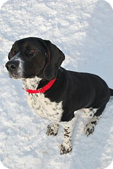 Hound (Unknown Type) Mix Dog for adoption in Berea, Ohio - Marley Well Socialized