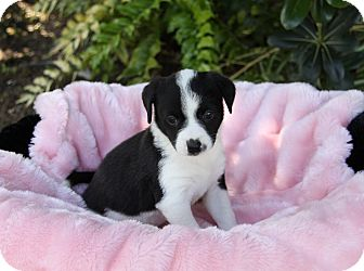 Beagle Mix Puppy for adoption in Newport Beach, California - MIKAYLA