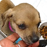 Adopt A Pet :: Vesta - Pomerene, AZ