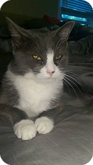 Domestic Shorthair Cat for adoption in North Brunswick, New Jersey - Avery