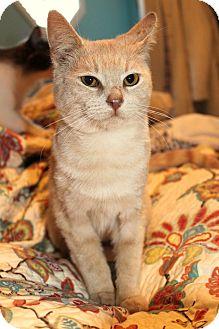 Domestic Shorthair Cat for adoption in Marietta, Georgia - Alex
