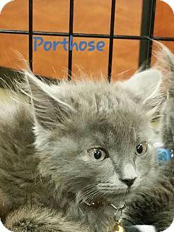 Russian Blue Kitten for adoption in McDonough, Georgia - Porthos