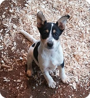 Australian Cattle Dog Mix Puppy for adoption in Anderson, South Carolina - Zach/pending adoption