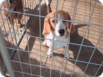 Beagle Dog for adoption in Greenville, Kentucky - henry