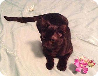 Abyssinian Cat for adoption in Sarasota, Florida - Caden