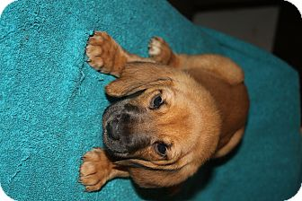 Bloodhound Mix Puppy for adoption in Colonial Heights, Virginia - Clinque