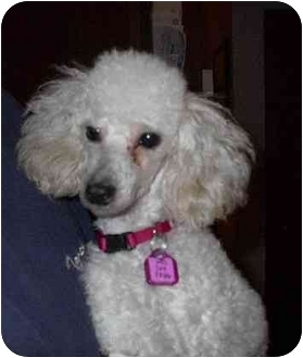 Toy Poodle Dog for adoption in Naugatuck, Connecticut - Jillian