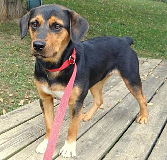Rottweiler Mix Dog for adoption in Fairmont, West Virginia - Ava