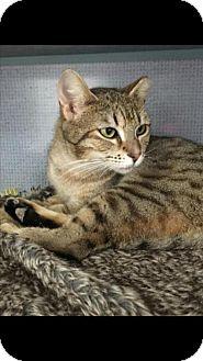 Domestic Shorthair Cat for adoption in Manteo, North Carolina - Brownie
