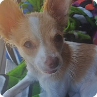 Adopt A Pet :: Scout - Kirkland, WA