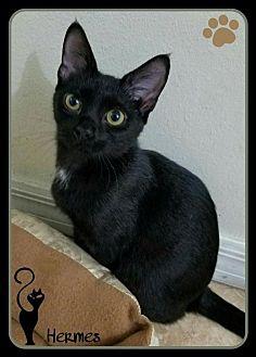 Domestic Shorthair Cat for adoption in Orlando, Florida - Hermes (JC) 5.16.16