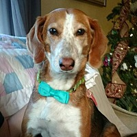 Beagle/Hound (Unknown Type) Mix Dog for adoption in Asheville, North Carolina - Tinker