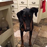 Adopt A Pet :: Buddy - Bellingham, WA